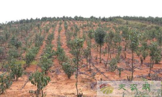 油用香樟树的种植要求