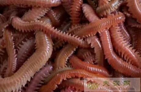 沙蚕怎么保存不死,沙蚕长期保存方法