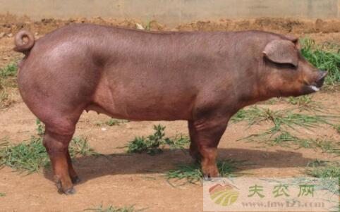 杜洛克猪怎么饲养,杜洛克猪怎么配种