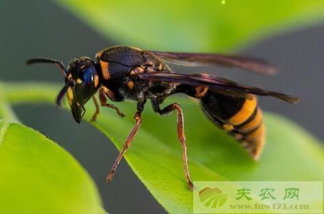 胡蜂有蜂蜜吗?
