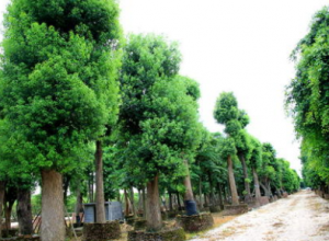 香樟树的主要作用