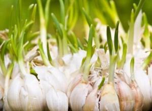 大蒜的种植时间,大蒜什么时候种植最佳