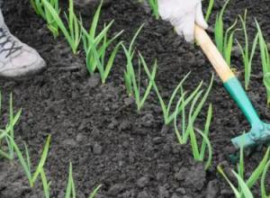 北方春季大蒜的种植方法