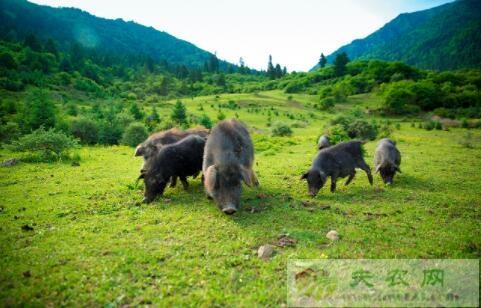 藏香猪能长到多少斤