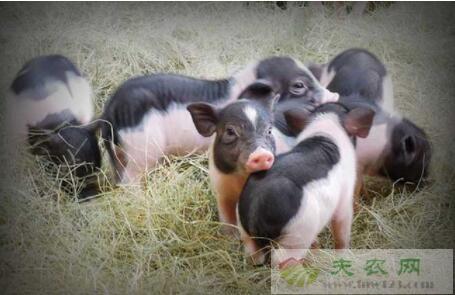 香猪最多能长到多少斤