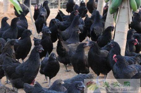 五黑鸡市场价格多少钱一斤