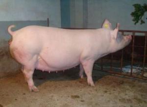 母猪空怀有什么症状