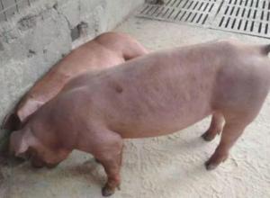 母猪配种20天流白脓什么原因