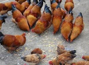 养鸡饲料中能不能加盐