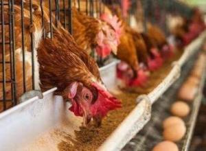 养鸡时怎么控料?