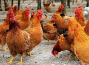 文昌鸡与普通鸡有什么区别