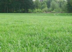 黑麦草可以长多少高