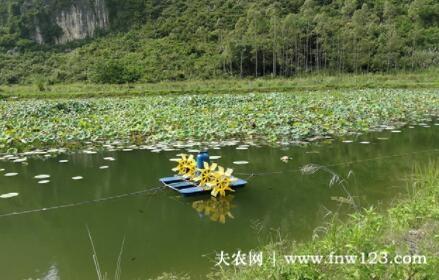 藕塘套养小龙虾模式