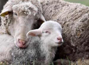 绵羊不反刍什么原因