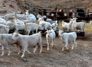 羊反刍什么意思