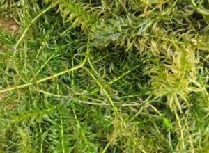 养小龙虾用伊乐藻的好处