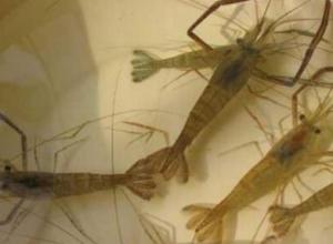 河虾有没有毒
