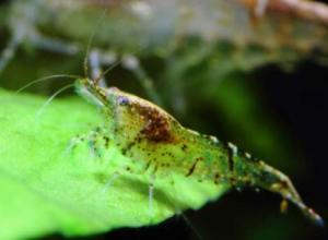 养殖的虾有没有激素