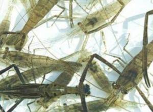 怎么捕捞河虾,用配方引捕捉河虾的方法