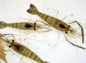 河虾一年繁殖几次