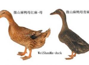 肉鸭品种之微山麻鸭
