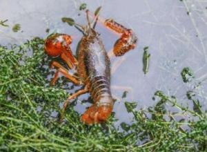 小龙虾与成鱼混养模式