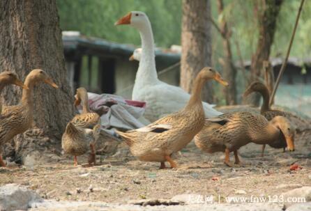 鸭子能不能放养