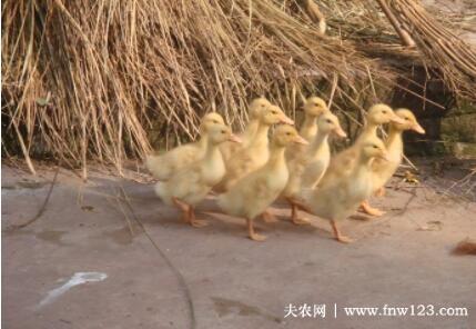 鸭瘟有什么症状