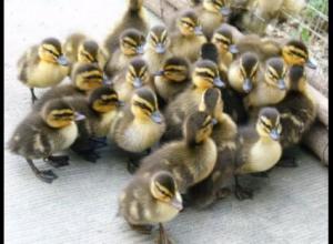 鸭子一般多长时间出栏,吃鸭子为什么避开换毛期