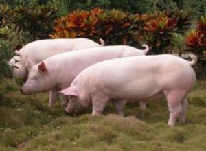 母猪发情不让配种是什么原因