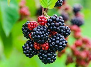 黑莓的产地在哪里