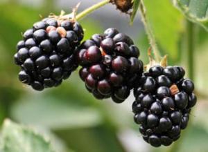 黑莓是一种什么水果