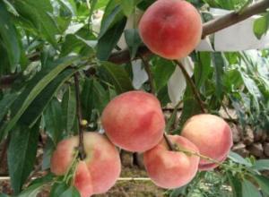 桃树防虫用什么药好