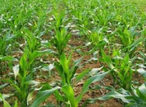 玉米控旺可用什么药