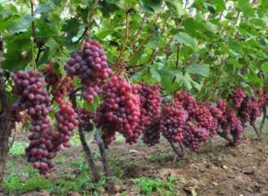 葡萄每亩种植多少株