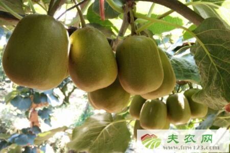 猕猴桃亩产多少斤