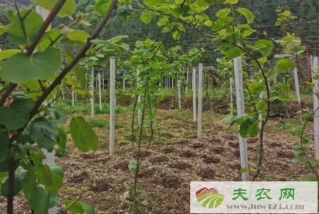 猕猴桃一亩栽多少株