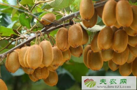 猕猴桃一般几月份成熟
