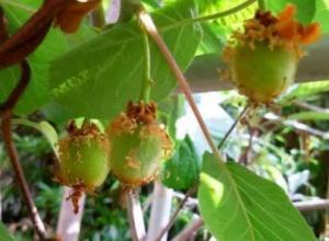 猕猴桃开花与坐果时间